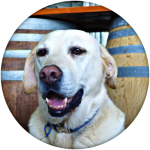 Pluto the wine dog